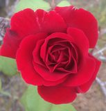 A Red Rose  Royalty Free Stock Photography