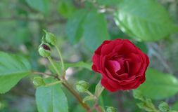 Red Rose in Bloom Royalty Free Stock Images
