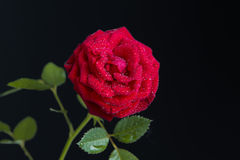 Red rose in bloom on a dark black background Royalty Free Stock Image