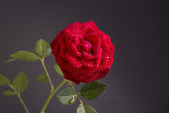 Red rose in bloom on a dark black background Stock Photography
