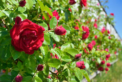 Red rose bloom in garden on background of blue sky Stock Photos
