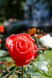 Red Rose Bloom in Garden Royalty Free Stock Photography