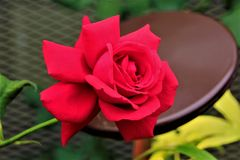 Red rose in bloom. In Gardens by the Bay Singapore Royalty Free Stock Photos