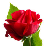 Red rose. Bloom with green leaves and white background Royalty Free Stock Image