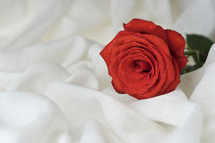 Red rose. Bloom. Natural blooming flower blossom on the white fabric texture background. Valentines day cards Royalty Free Stock Photography