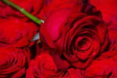 A red rose bloom. Rose petals. Natural bright roses background. A close up macro shot. Red rose flower. Close up of red royalty free stock images