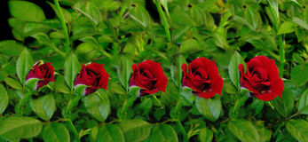 Red Rose Blooming Stock Image
