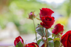 Red rose blooming. Royalty Free Stock Images