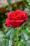 Red rose blooming on the branch. Close-up red rose blooming on the branch in the flower garden for background stock images