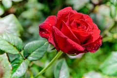 Red rose blooming on the branch. Close-up red rose blooming on the branch in the flower garden for background royalty free stock photography