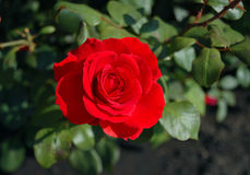 Red Rose. Blooming on a bush in the summer on a sunny day Royalty Free Stock Images