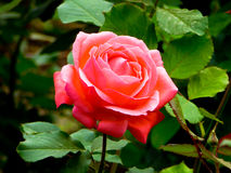 Red rose blooming Royalty Free Stock Image