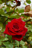 Red Rose. Blooming red rose flower on a bed in the city park in early autumn Royalty Free Stock Photo