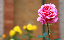 The red rose blooming in the garden Stock Photos