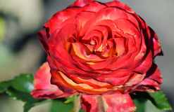 Red rose blooming in the garden Stock Image