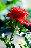 Red rose blooming in the garden Royalty Free Stock Image