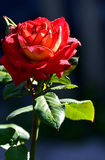 Red rose blooming in the garden Royalty Free Stock Images