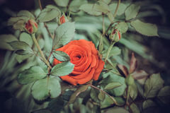 Red Rose Blooming in Garden. Delicate roses on the green background Royalty Free Stock Photo