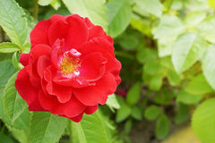 Red Rose Blooming in Garden Stock Image