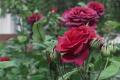 Red Rose. Blooming red rose in the city garden. Red rose on a background of green leaves royalty free stock images