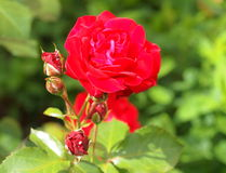 Red Rose. Royalty Free Stock Images