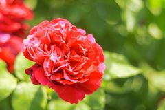 Red rose blooming in the summer or spring day. With copy space royalty free stock photo
