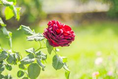 Red rose blooming in the summer or spring day. With copy space royalty free stock photography