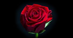 Red Rose Blooming. A Vibrant Red Rose Blooming. Studio isolated on a black background stock footage