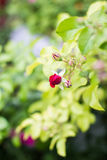 Red rose. Rose red blooms in the garden Stock Photography