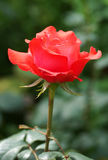 Red rose blooms in the garden. Royalty Free Stock Photos