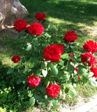 Red Rose in blooms in the garden stock photography