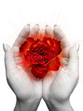 Red rose blossom. In the female hands Stock Photos