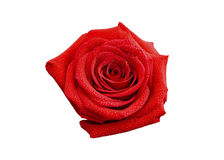Red Rose Blossom Royalty Free Stock Images