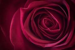 Red rose blossom Stock Photos