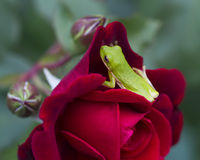 Red Rose Blossom and Green Tree Frog Royalty Free Stock Photo