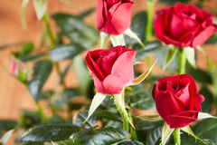 Red rose blossom Royalty Free Stock Photos