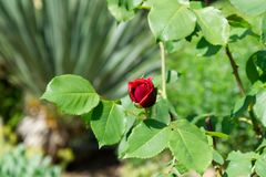 Red rose blossom on its stem - Garden flowers blooming in the summer. Red rose bud blooming on its stem - Garden flowers blooming in the summer stock photo
