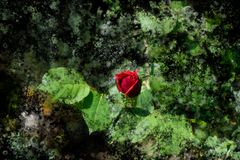 Red rose blossom on its stem - Garden flowers blooming in the summer, watercolor splash design. Red rose bud blooming on its stem - Garden flowers blooming in stock photo