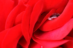Red rose blossom macro. Abstract background made of a red rose blossom macro closeup Royalty Free Stock Image