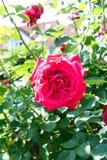 Red rose blossom on the stem - Garden flowers blooming in the summer. Red rose blooming on the stem - Garden flowers blooming in the summer stock photos