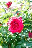 Red rose blossom on the stem - Garden flowers blooming in the summer. Red rose blooming on the stem - Garden flowers blooming in the summer stock images