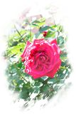 Red rose blossom on the stem - Garden flowers blooming in the summer, textured framing. Red rose blooming on the stem - Garden flowers blooming in the summer stock photo
