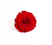 Red rose blossom on white background Stock Image