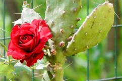 Red rose blossomed with prickly pear, colored flower and a succulent plant with big thorns, love. Wallpaper of artistic closeup of red rose and a prickly pear Royalty Free Stock Images
