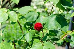 Red rose blossom on its stem - Garden flowers blooming in the summer. Red rose bud blooming on its stem - Garden flowers blooming in the summer Royalty Free Stock Photo