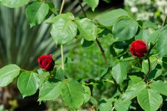 Red rose blossoms on its stem - Garden flowers blooming in the summer. Red rose bud blooming on its stem - Garden flowers blooming in the summer stock photography