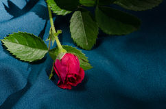 Red rose on blue background Stock Photography