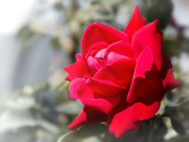 Red rose on blurred background. Red fresh rose on blurred green background Stock Photography