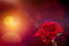 Red rose on bokeh background Royalty Free Stock Photography