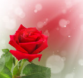 Red rose on bokeh background Stock Image